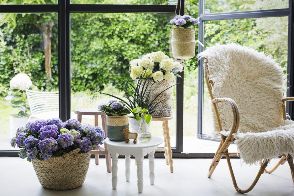 hortensia trendplant