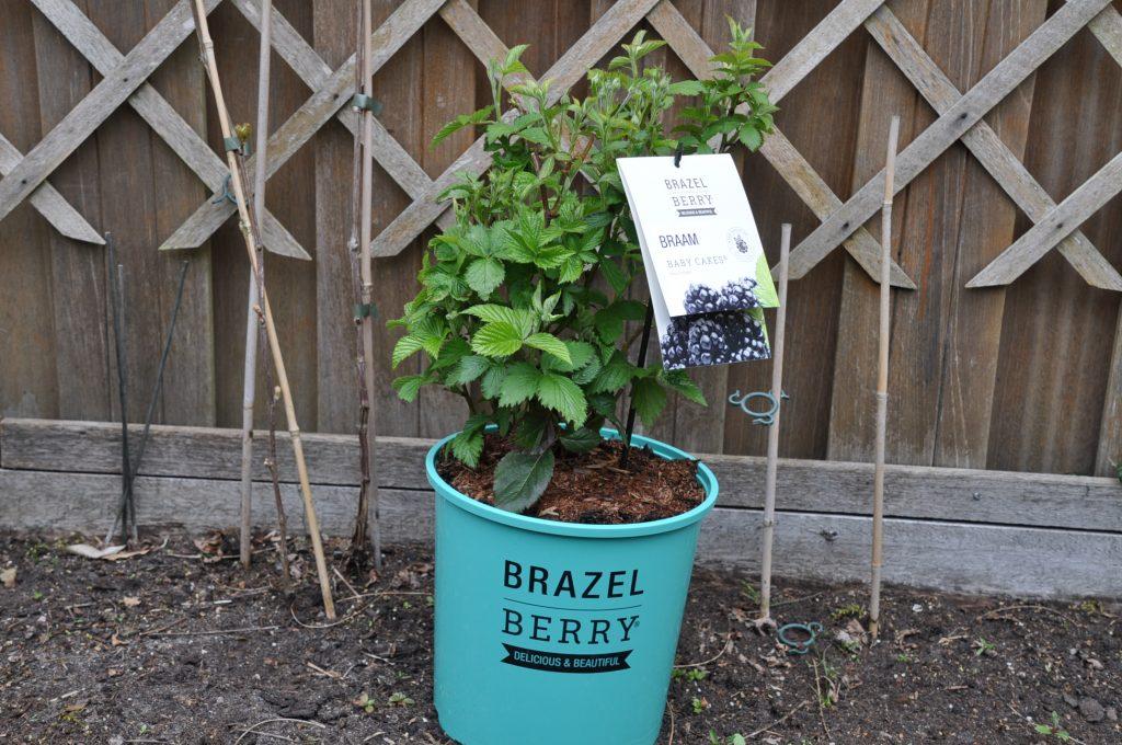 brazelberry braam